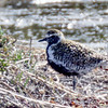 PACIFIC GOLDEN PLOVER<br /> male molting into breeding plumage.