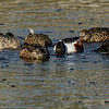 NORTHERN SHOVELERS FORAGING FOR FOOD.