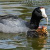 AMERICAN COOT AND CHICK