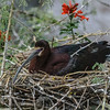 NESTING WHITE-FACED IBIS