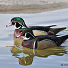 Wood Duck drakes