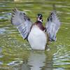 Wood Duck drake wing flap