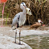 Great Blue Heron with a duckling