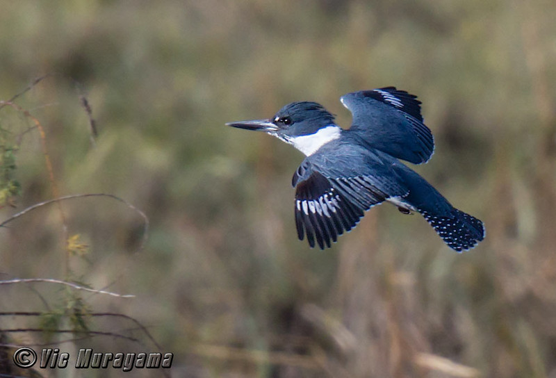 MALE BELTED KINGFISHER