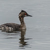 MOLTING EARED GREBE