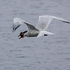 ELEGANT TERN WITH A DIAMOND TURBOT
