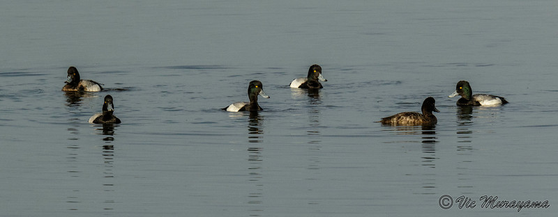 LESSER AND GREATER SCAUPS