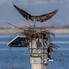 OSPREY NEST BUILDING.<br /> This is the third attempt at establishing a nest atop the channel marker. The previous two were destroyed by the recent storms.