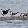 BLACK SKIMMERS<br />  adult with 2 hatch year skimmers.