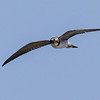 BLACK TERN<br /> Hatch year juvenile