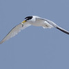 ADULT LEAST TERN