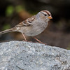 JUVENILE WHITE-CROWNED SPARROW