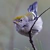 CHESTNUT-SIDED WARBLER<br /> female<br /> Bird and Butterfly Garden