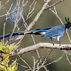 BLACK-THROATED MAGPIE JAY