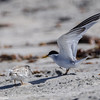 LEAST TERN FLEDGLING AND ADULT