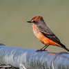 MALE VERMILION FLYCATCHER
