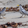 ADULT LEAST TERNS