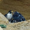 PEREGRINE FALCON ADULT AND CHICKS