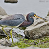 Tricolored Heron<br /> SD River opposite Robb Field