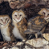 BARN OWLS<br /> Owlets almost ready to fledge.