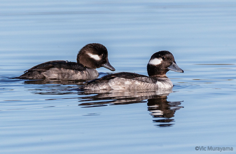 BUFFLEHEAD DUCKS<br /> Adult female (L) 1st yr male (R).