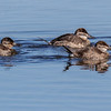 FEMALE RUDDY DUCKS