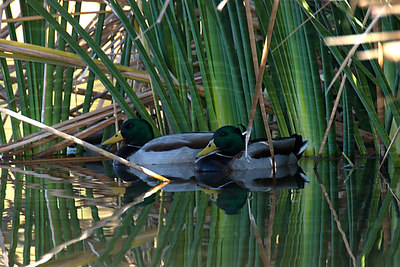 Mallard Drakes hanging out in the reeds