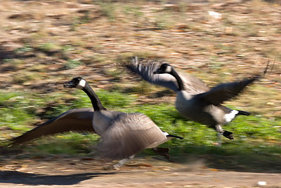 Two Canada Geese taking off...