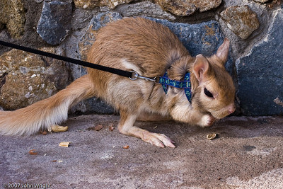 Springhaus (a South African Rodent)