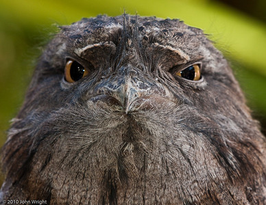 Cliff the Tawney Frogmouth...