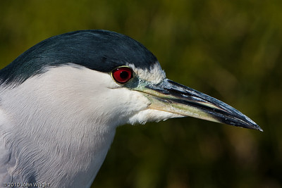 Black Crowned Night Heron.  Shot with the Canon 70-200 2.8 IS MkI and the Canon 2X II extender.