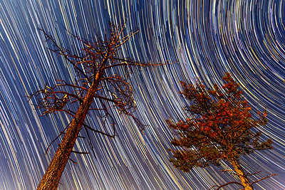 Dead And Alive Trees With Star Trails.