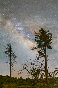 Milky Way and Pine Trees.