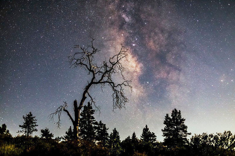 Milky Way Behind an Oak Tree And Above Some Pine Trees