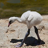 American Flamingo's chick is not pink at all... And doesn't look like much at all.... Flamingo
