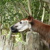 okapi, a relative of the giraffe