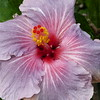 never seen a hibiscus this color