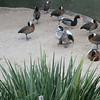 duck dancing