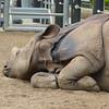 tired Rhino