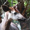 Okapi horns are covered in fur, like their relative the giraffe