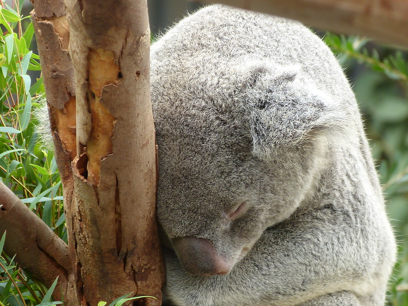 just a lump of koala in a tree
