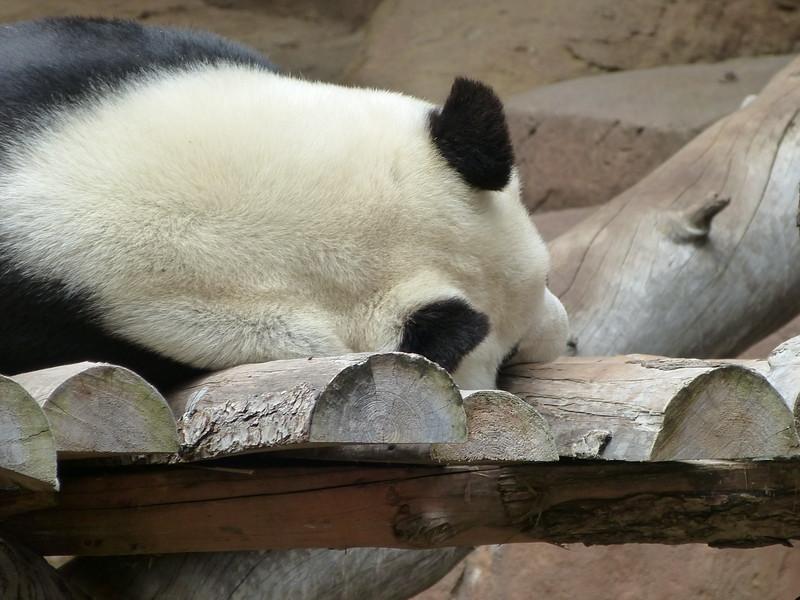 very active Panda