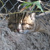 fishing cat, taking a nap