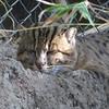 fishing cat, taking a nap