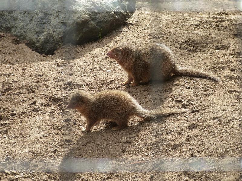 mongeese (?)   mongooses(?)