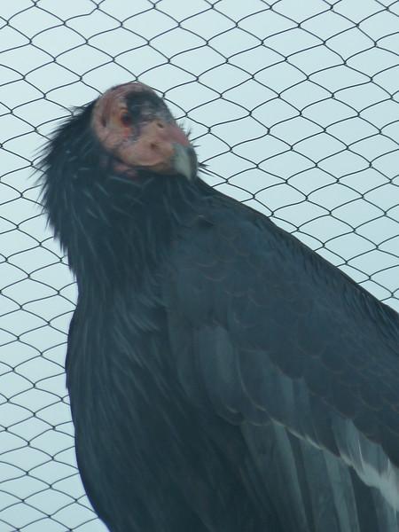 huge Andean condor