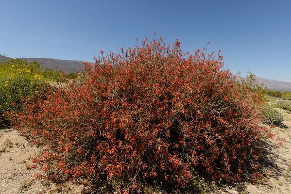 Anza Borrego Bloom