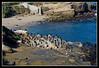 La Jolla Cove Cormorant Caucus - They just elected a Pelican...