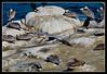 Male Brown Pelican flying over La Jolla Cove.