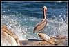 Male Brown Pelican at La Jolla Cove